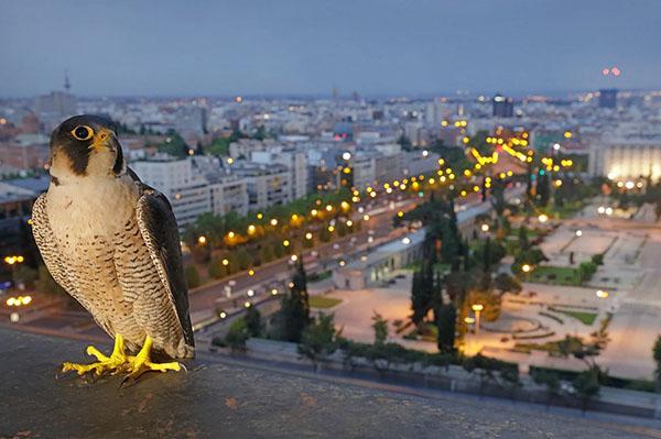 halcones en el cielo de Madrid