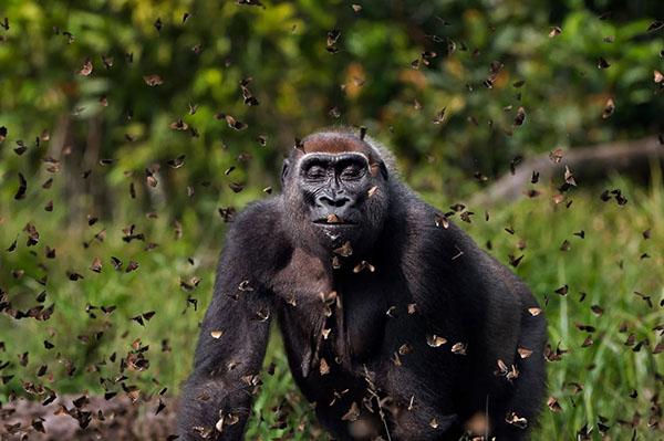 la gorila Malui